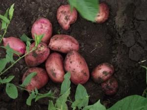 Купить картофель сорта Любава в Воронеже