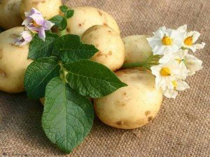 Семена картофеля в Воронеже по низкой цене