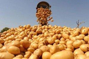 Отборные сорта семенного картофеля в Воронежской области