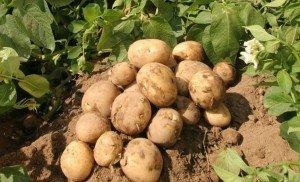 Семенной картофель в Воронеже